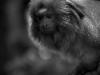 Tamarin lion